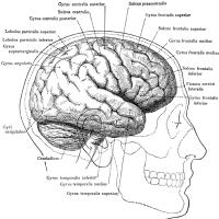 Human Brain Illustrations
